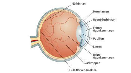 ögonsjukdomar ögats anatomi